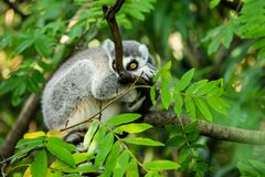 Lemur on a tree branch royalty free stock image