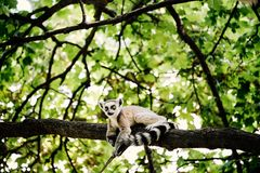 Lemur on tree. In the zoo royalty free stock images