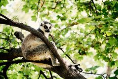 Lemur on tree. In the zoo royalty free stock photos
