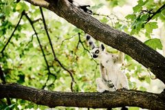 Lemur on tree. In the zoo royalty free stock image