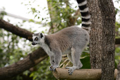 Lemur on a tree Royalty Free Stock Images