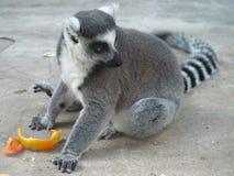 Lemur Ukraina kiev Obrazy Royalty Free