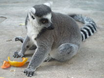 Lemur.Ukraina. Kiev Royalty Free Stock Images