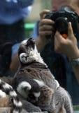 Lemur und Fotograf Stockfotografie