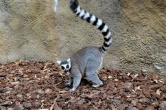 Lemur in Valencia. Cute Lemur in Valencia Biopark Stock Photography