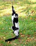 Lemur vari Stock Images