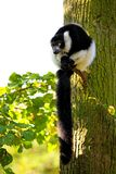 Lemur vari Stock Image