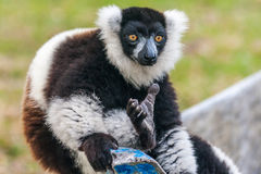 Lemur Vari Arkivfoto