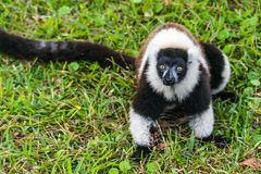 Lemur Vari Royalty Free Stock Photography