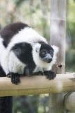 Lemur varied stock photo