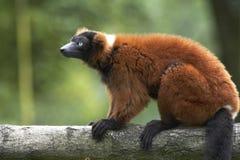 Lemur vermelho de Ruffed Imagens de Stock