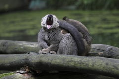 Lemur Vermelho-fronteado de bocejo Foto de Stock
