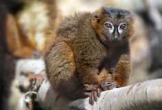 Lemur Vermelho-inchado Foto de Stock Royalty Free