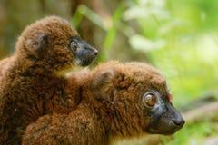 Lemur Vermelho-inchado bonito com bebê fotografia de stock