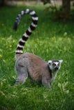 Lemur von einem Zoo in Deutschland Stockfotografie