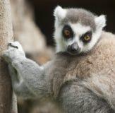 Lemur von Madagaskar stockfotografie