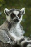 Lemur von Madagaskar lizenzfreie stockfotografie