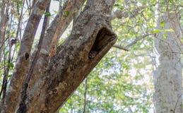 Lemur w Ankarana parku Madagascar Zdjęcia Royalty Free
