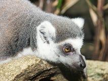 Lemur w lesie tropikalnym zdjęcia stock