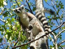 Lemur w Madagascar, isalo park fotografia royalty free