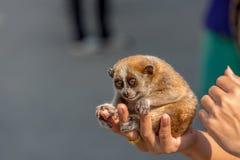 Lemur w ręce zdjęcia stock