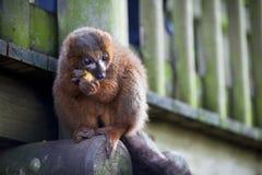 Lemur w Woburn safari parku Zdjęcie Royalty Free