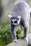 Lemur walking along a log in climb position Stock Images