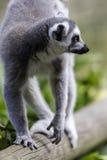 Lemur walking along a log in climb position Royalty Free Stock Image