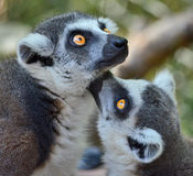 Lemur. Walking around on a log royalty free stock images