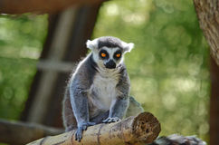 Lemur. Walking around on a log royalty free stock image