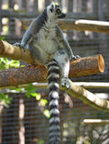Lemur. Walking around on a log stock photos