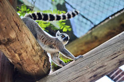 Lemur. Walking around on a log stock photo