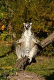 Lemur warming Stock Photos
