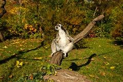 Lemur warming Stock Photography