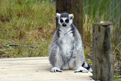 Lemur - Wildlife Park Royalty Free Stock Photo