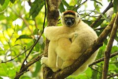 Lemur With A Baby Royalty Free Stock Images