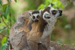 Free Lemur With Baby Stock Image - 7993181