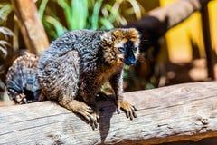 Lemur on wood Stock Photos