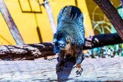 Lemur on wood Stock Photo