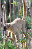Lemur. The red lemur (Eulemur rufus), also known as the rufous brown lemur or northern red-fronted lemur, is a specie of primates. Like all other lemurs, they Stock Photos