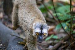 Lemur with yellow eyes walking. A lemur with big yellow eyes walking along a bit of wood Stock Photos