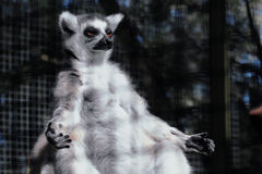 Lemur in yoga position Stock Photography