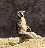 Lemur Yoga. The usual pose of the Lemur, they sit in positions that look like yoga poses Royalty Free Stock Photos