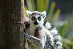 Lemur z magnesowymi oczami Obraz Royalty Free