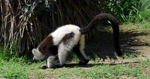 The lemur. On the zoo Royalty Free Stock Photos