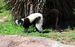 The lemur. On the zoo Royalty Free Stock Image