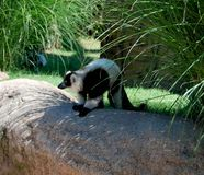 The lemur. On the zoo Royalty Free Stock Photography