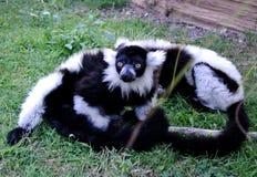 The lemur. On the zoo Stock Photo