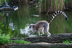 Lemur at Zoo. Lemur at the Vienna Schonbrun Zoo royalty free stock photography