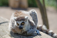 Lemur in ZOO Stock Images